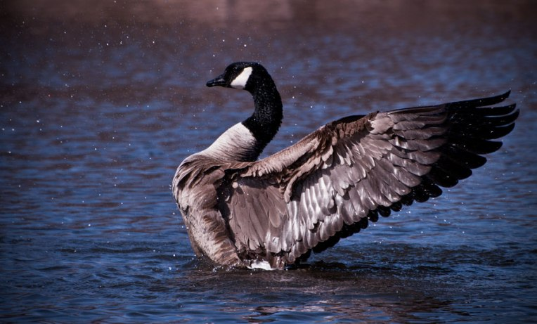 Goose-wings-back-