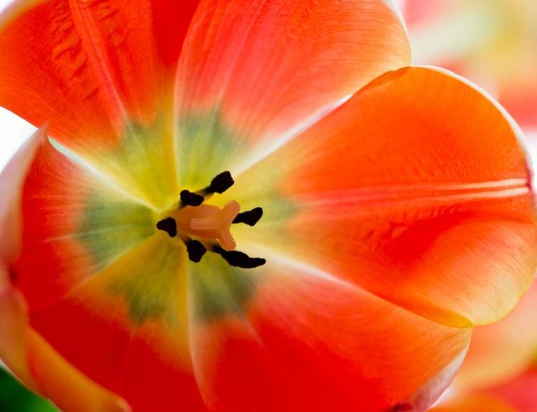 Orange-Tulip-series-4