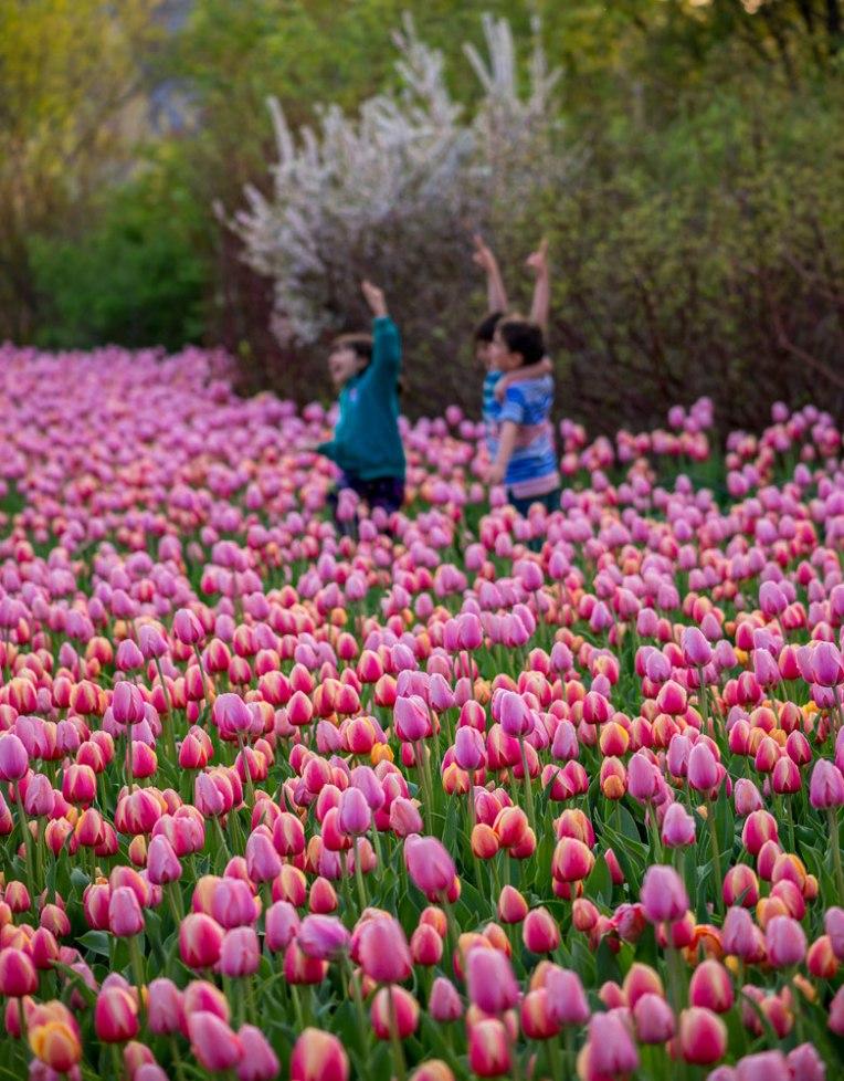 2nd-visit---Ottawa-tulip-festival---2014-00070-copy