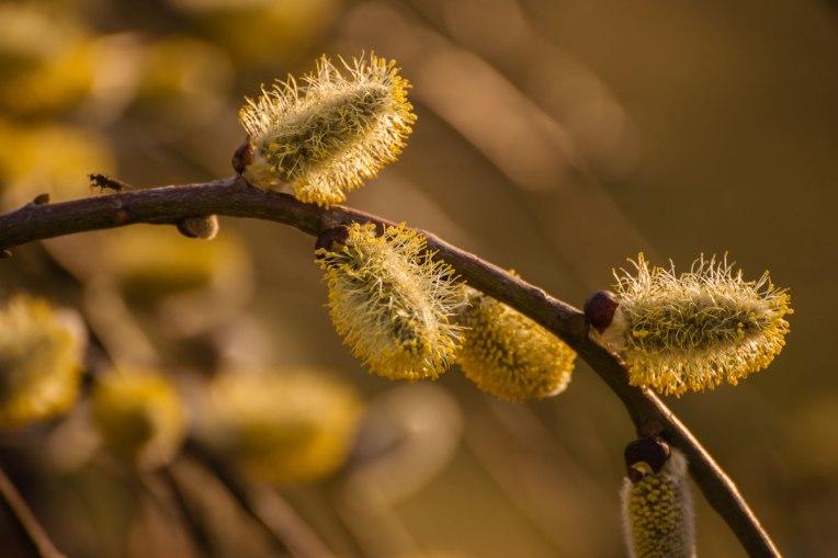 spring-arboretum-cascade-yellow-buds---2015-00019